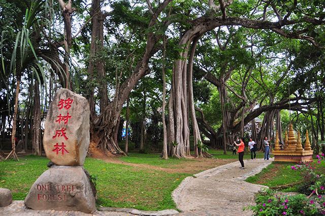 勐海独树成林风景区